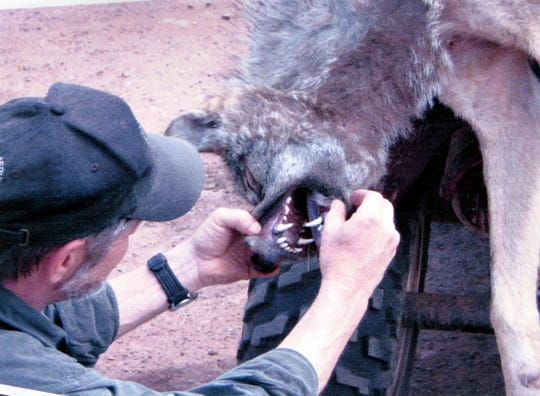 Federal wildlife agent Don Lonsway examines a problem wolf in 2012.