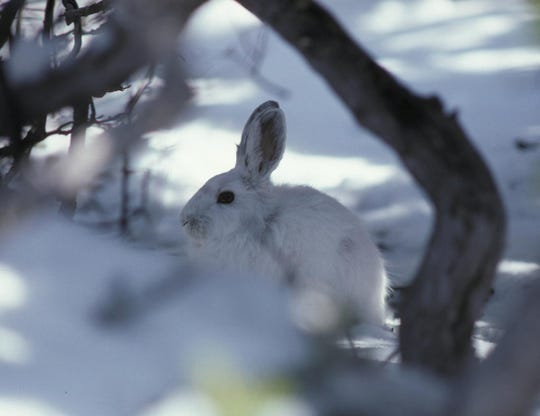 Snowshoe hares change the color of their fur to white in the winter to avoid predators.
