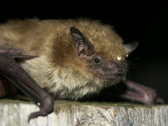 Bats are true hibernators, sleeping soundly through the winter.