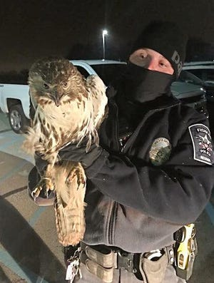 Fishers Police Officer Kevin Matt holds a Red Tailed Hawk he rescued from behind the grill of a pick-truck. The truck had struck the bird in the.