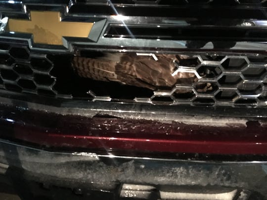 A Red Tailed Hawk was trapped inside the grill of a Ford pick-up truck after being hit by a motorist in Fishers
