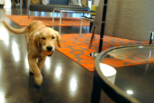 Golden retriever Seven lives with his owners, Kaitlyn Kiely and Matthew Wetherbee, in the dog-friendly Main & Clay Apartments. Dec. 4, 2018