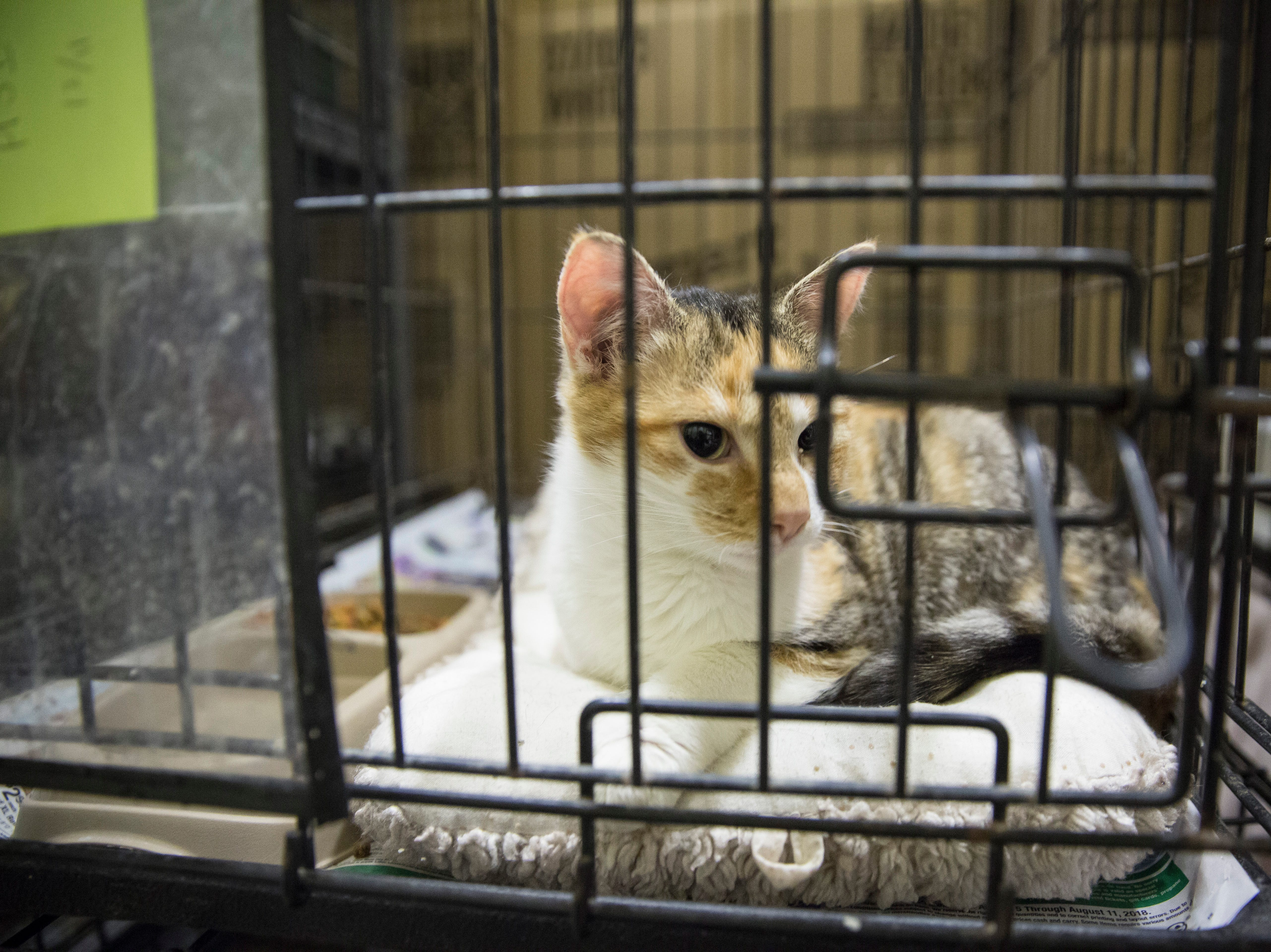 Several cats that were rescued in a U-haul at a Muncie hotel are still waiting to be cleared for the adoption floor on Tuesday. The shelter took in 43 cats just prior to their adoption event this weekend.