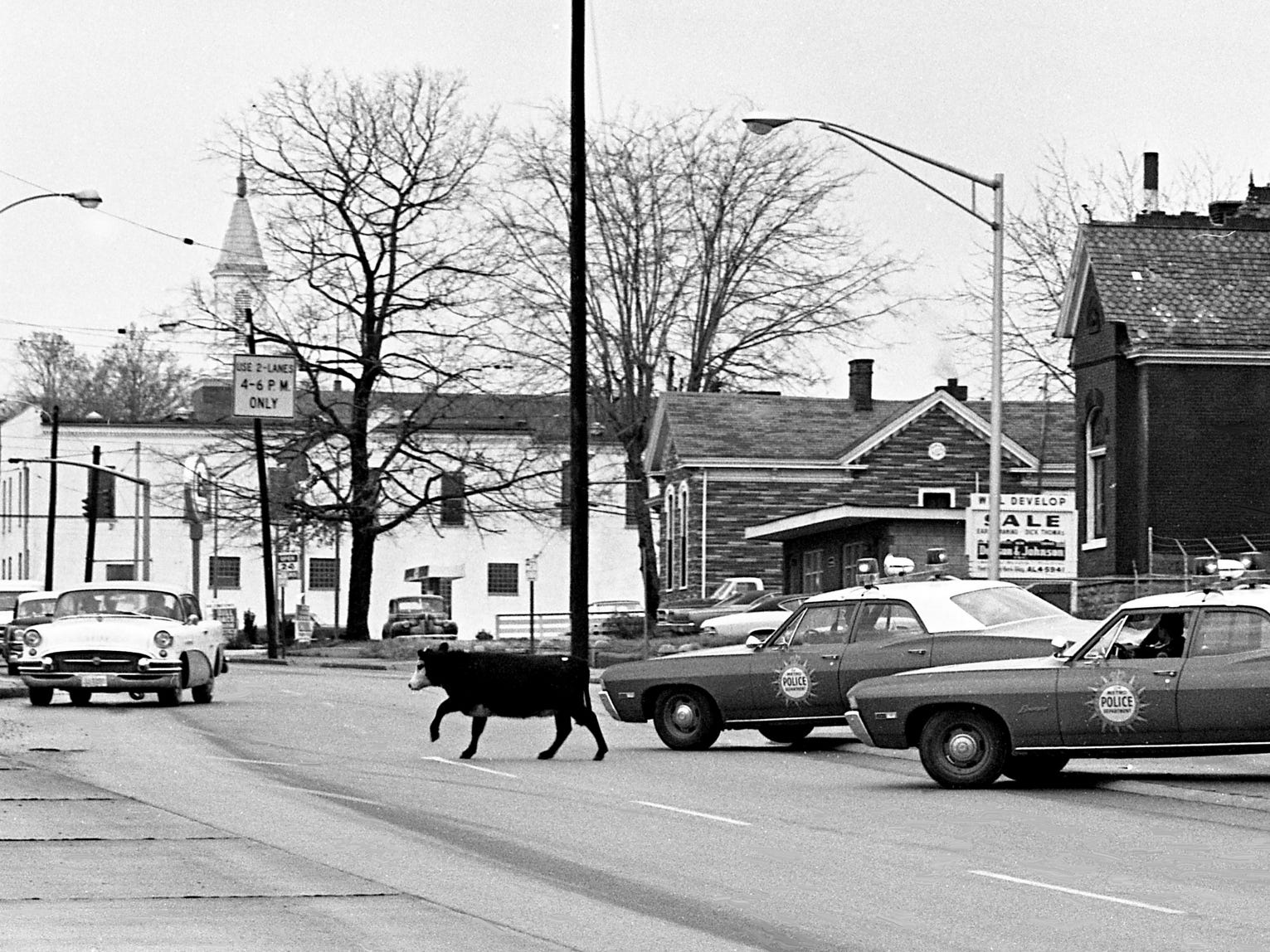 Metro police officers attempt to herd a young bull along Woodland Street on Dec. 13, 1968. The bull was captured with the aid of a rope on a playground on Main Street. Patrolman Carl Harrison said the animal apparently jumped or fell from a truck on its way to the stockyards.