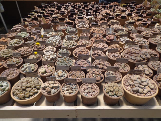 Often only DNA can sort genera such as Lithops that contain hundreds of species names for nearly identical but different plants.