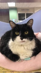 Daisy is available for adoption Dec. 16, 2018, at noon at 1521 W. Dobbins Road in Phoenix. For more information, call 602-997-7585 and ask for animal number 244801.