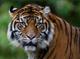 Un hermoso ejemplar Tigre de Sumatra llegó al Phoenix Zoo para el deleite de los visitantes. Conózcalo mediante estas imágenes