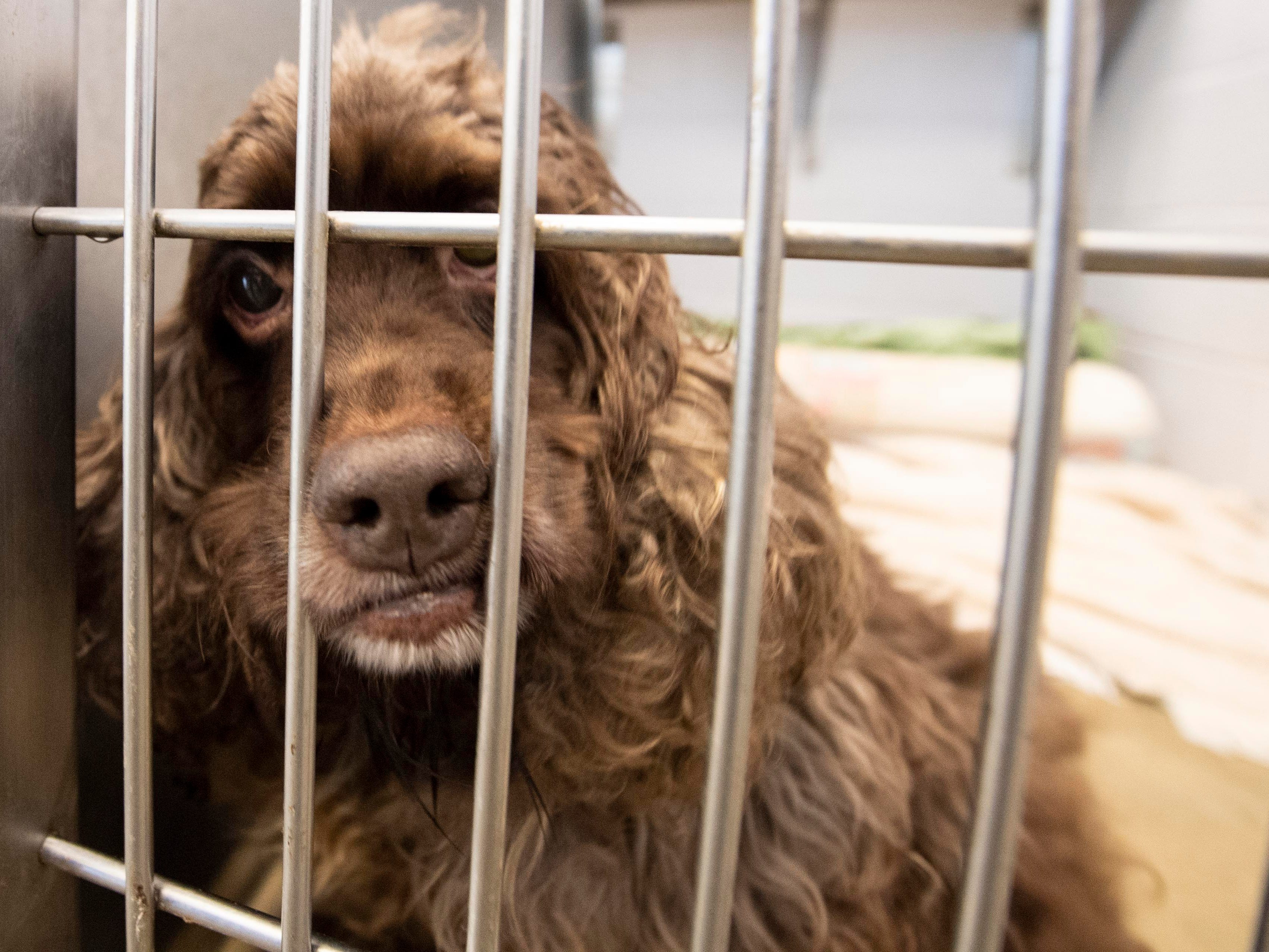 Gracie, a 5-year old cocker spaniel, was brought in because her owner could no longer take care of her. She's one of the shelter's longest residents.