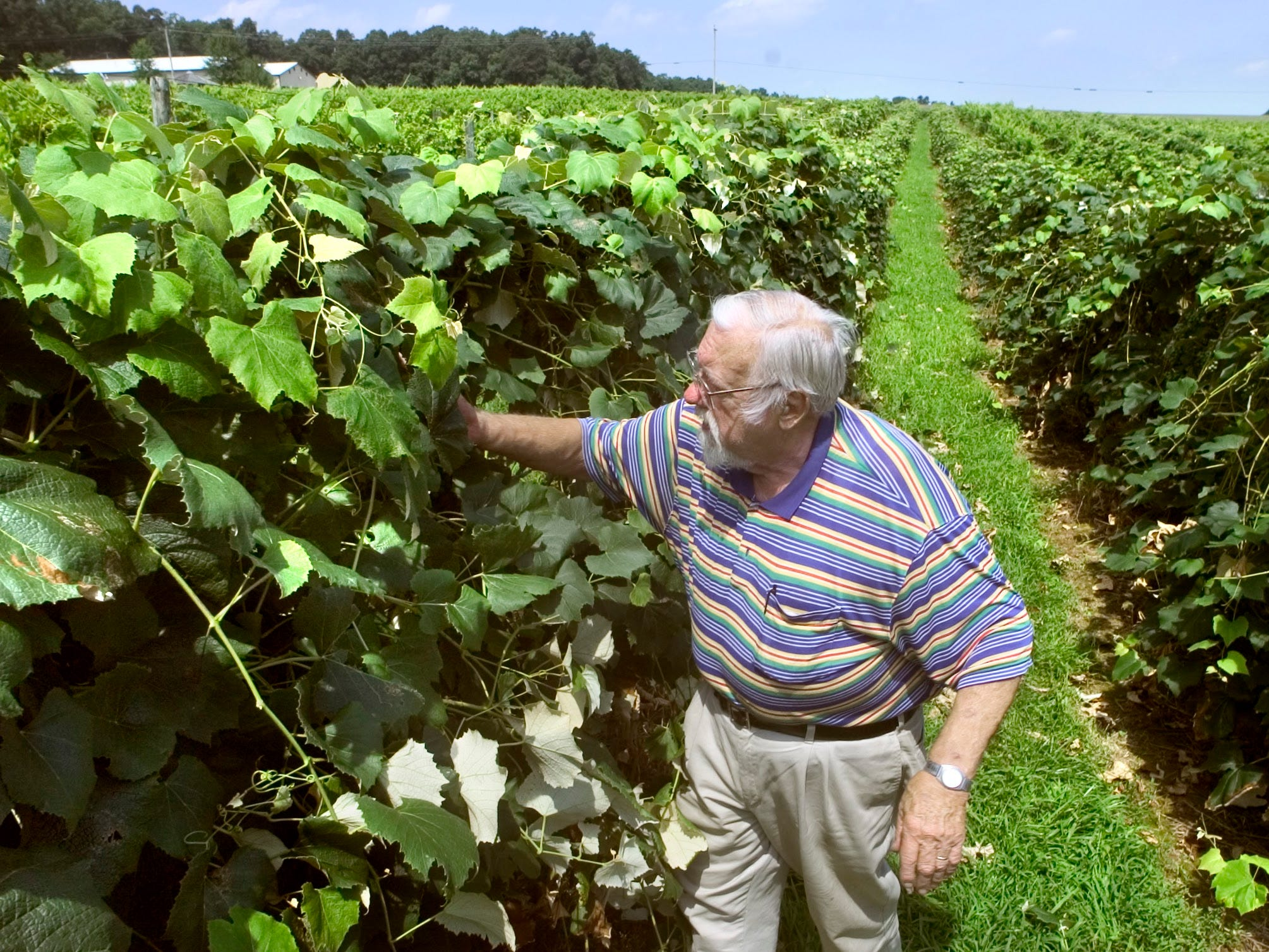 "Richard ""Dick"" Naylor thins out leaves  in August 2004. Thinning the dense growth allows the grapes to have more sun and improves grape quality."