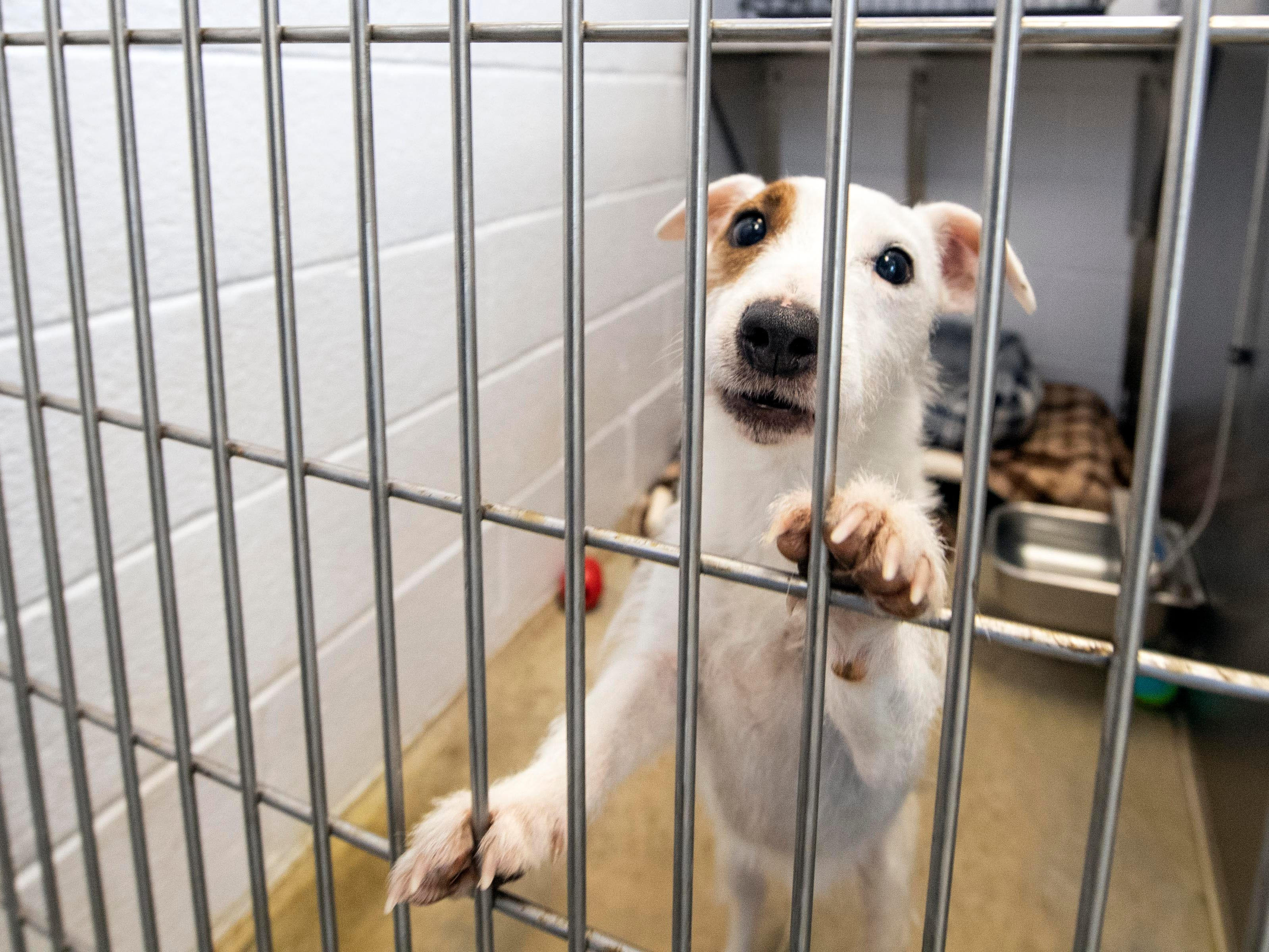 Jack, a 4-year old Jack Russel terrier, was brought into the shelter because his owner no longer had time for him.
