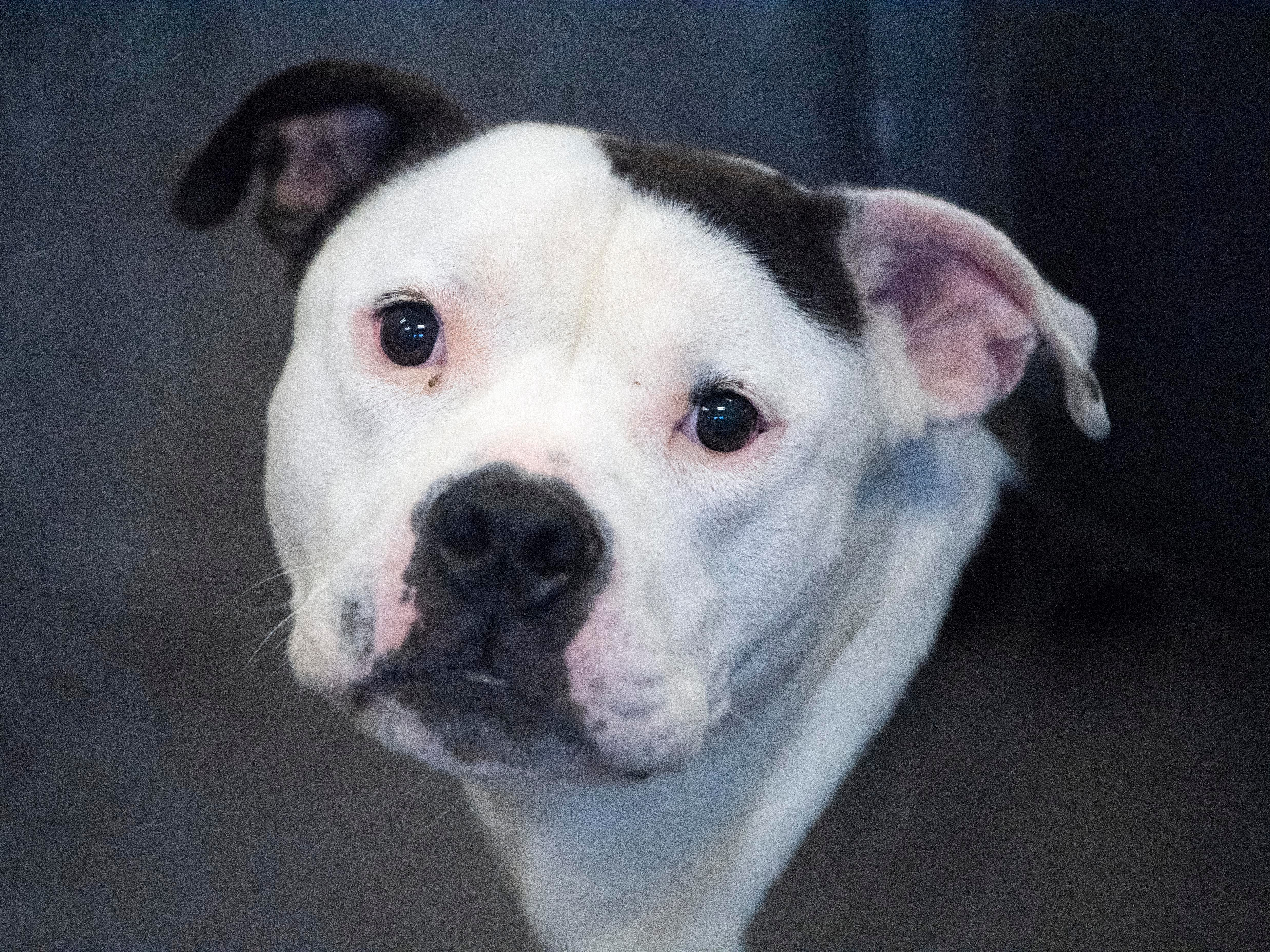 Panda, a 1-year old pit bull terrier, was returned to the shelter for not being able to play properly.