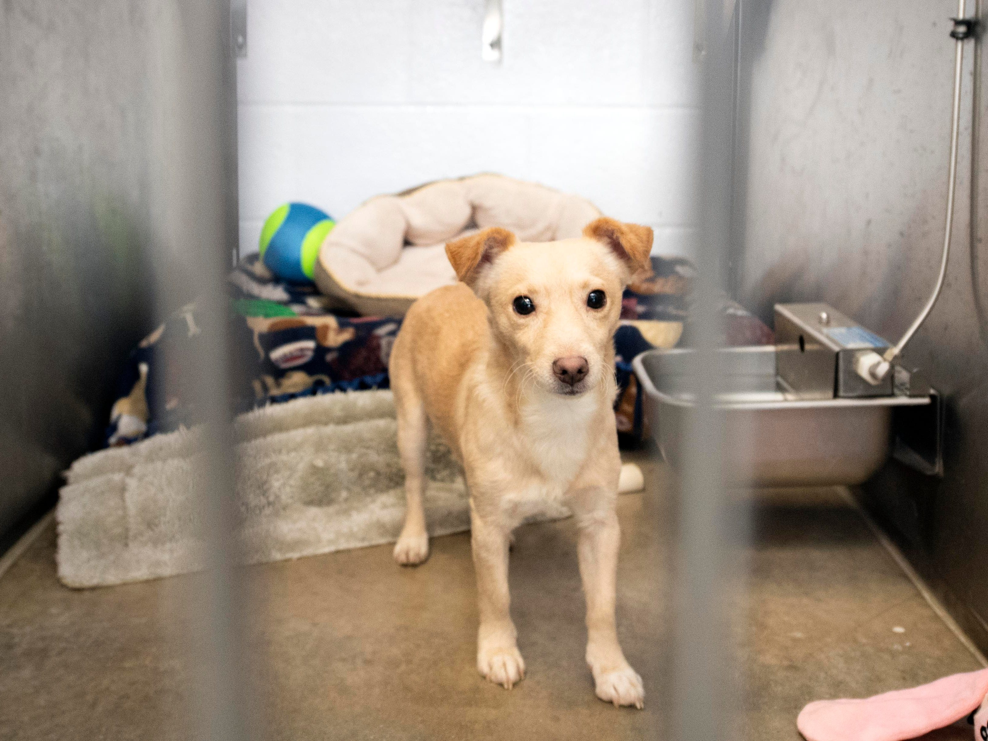 Mischief, a 3-year old terrier mix, was brought into the shelter because the older dog in the home wasn't adjusting well to him.