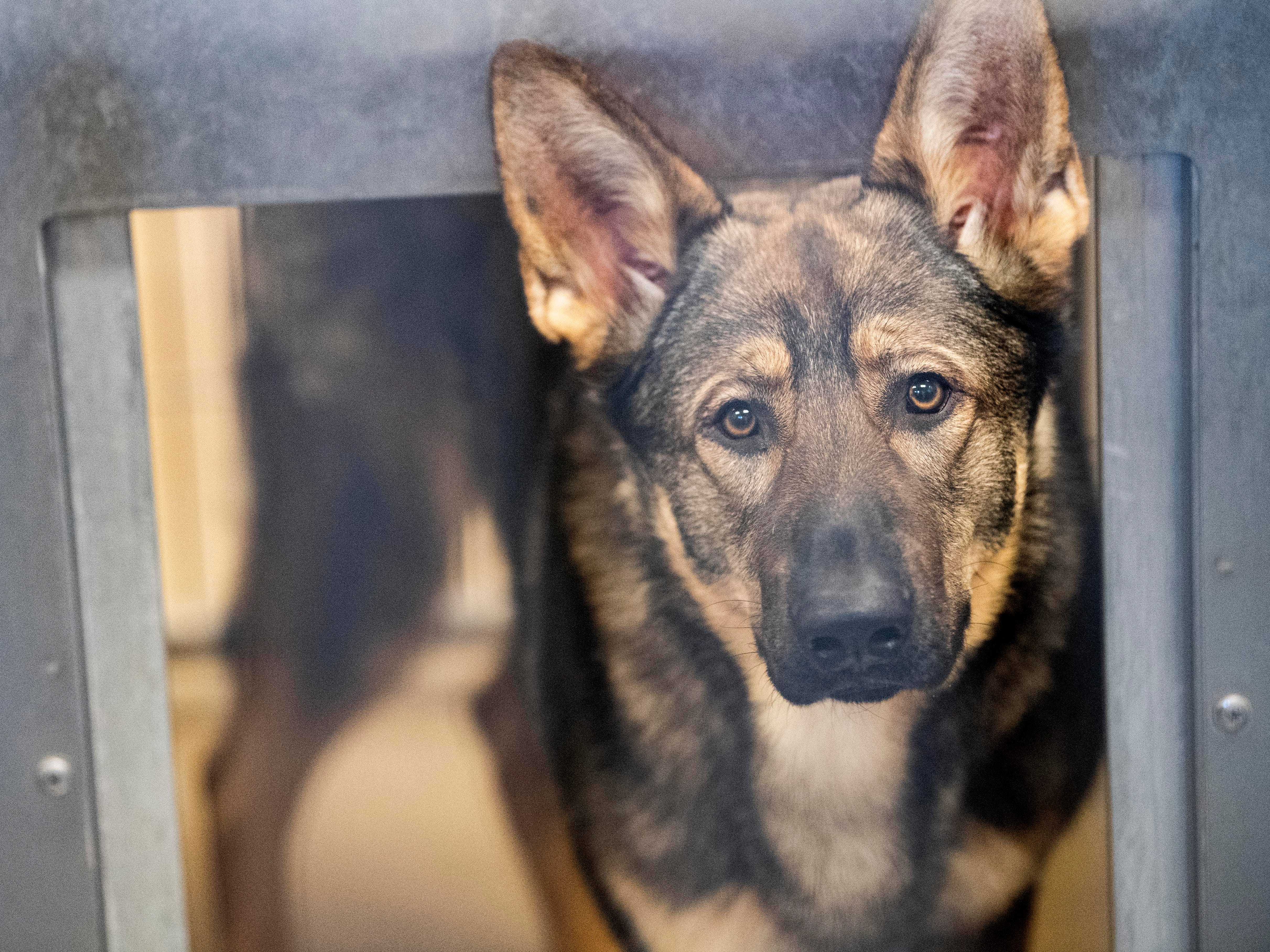 Archie, a 1-year old German Shepard, was brought to the shelter because his owner was unable to care for him.
