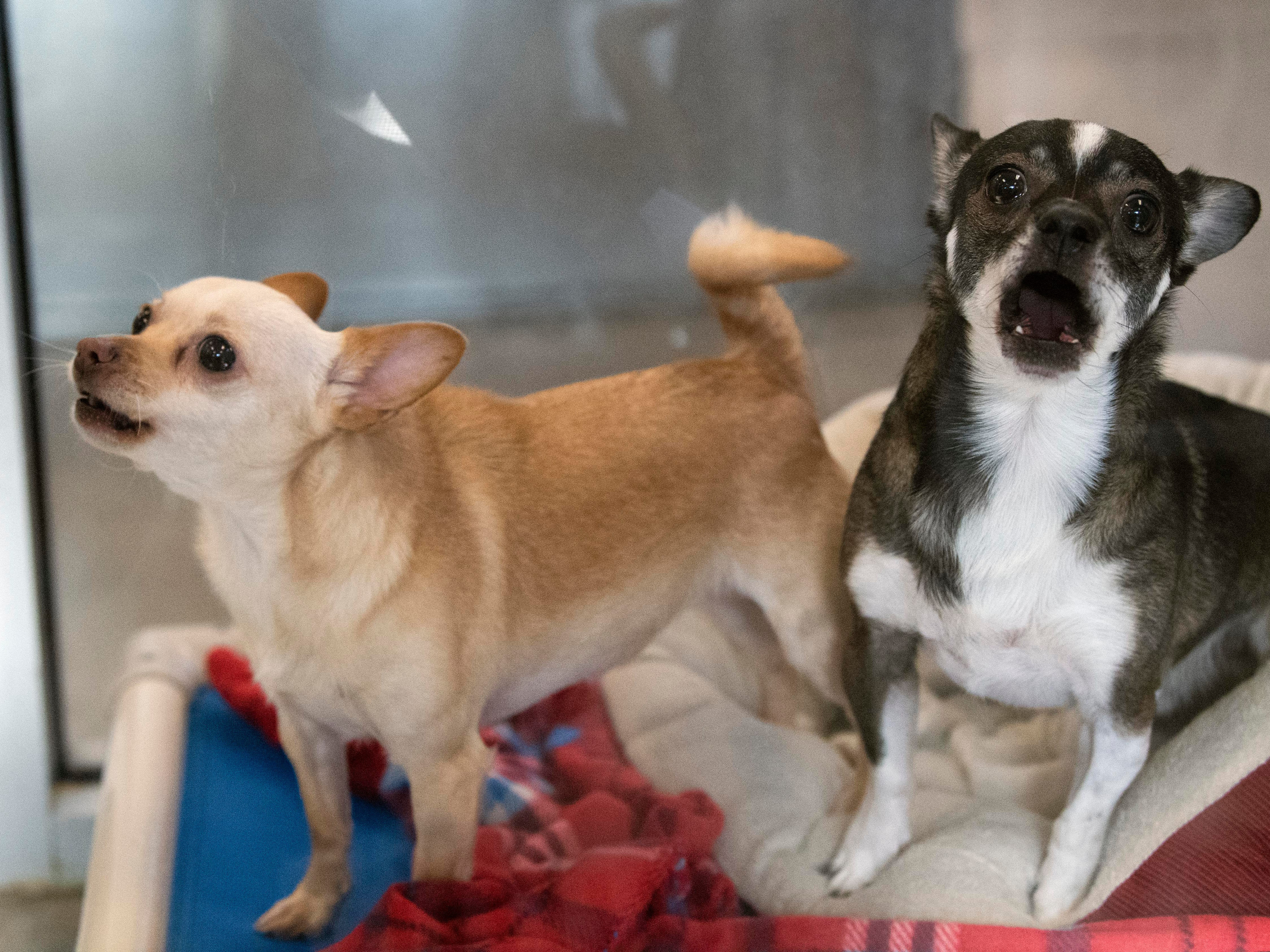 Sammy, right, and Honey, both 2-year old Chihuahuas,  were returned to the shelter because of allergies. The pair are bonded and must be adopted together.