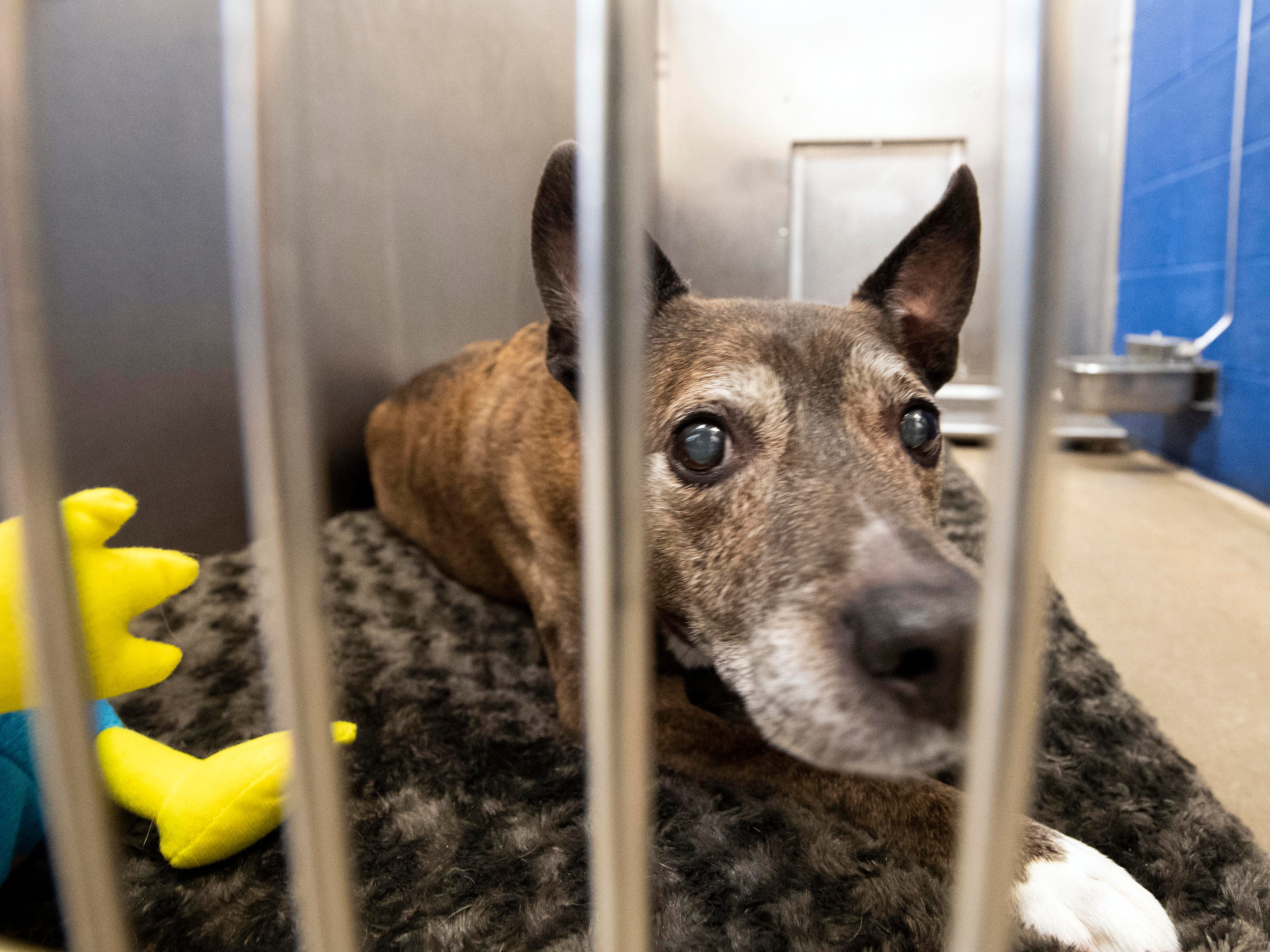 Hershel, under 6-year old mixed breed, was found along a road in West Manchester Township.