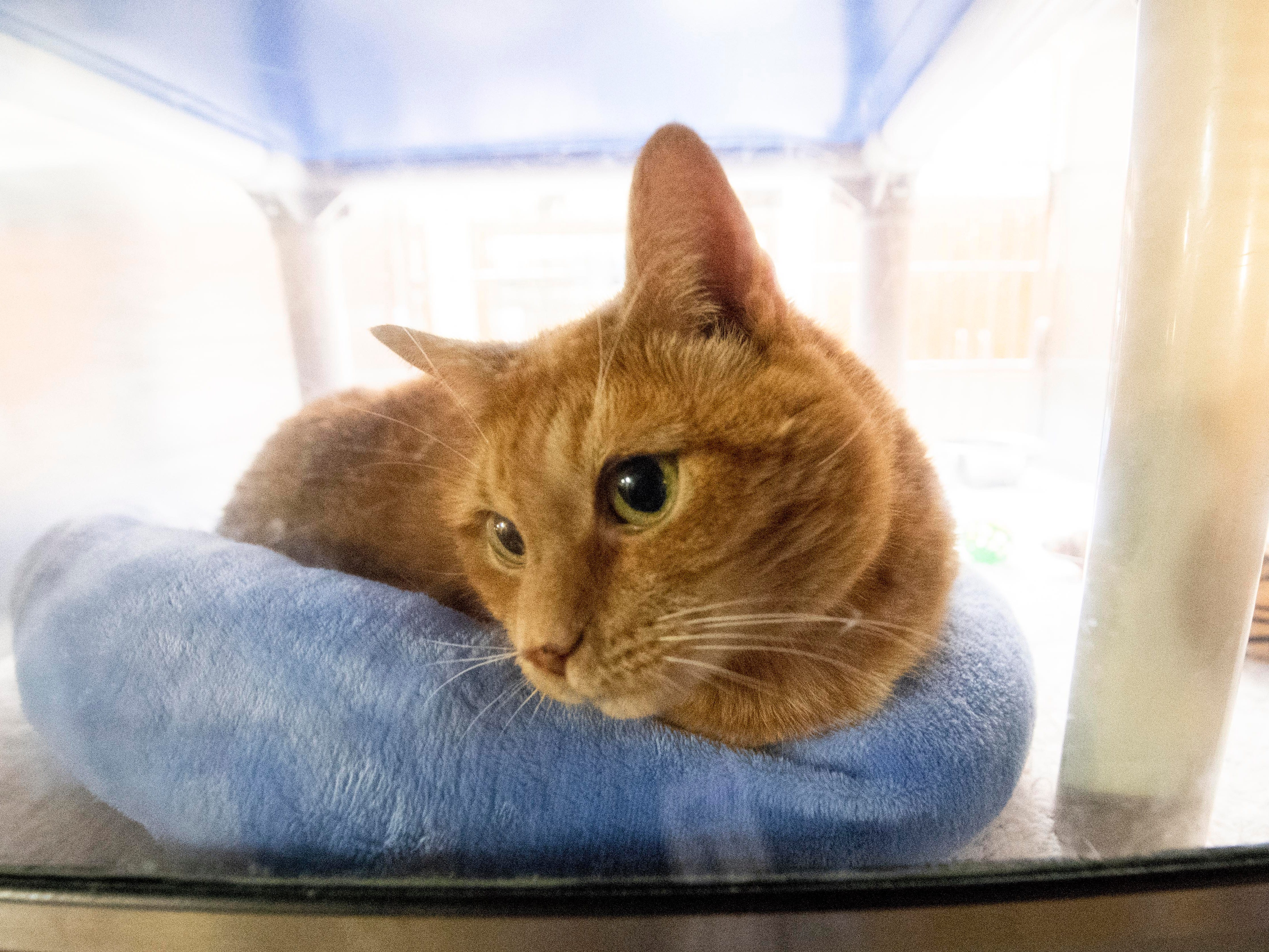 Fat Cat, an 8-year old orange breed, was brought to the shelter because he became aggressive toward the toddler in the home, but is good with adults.