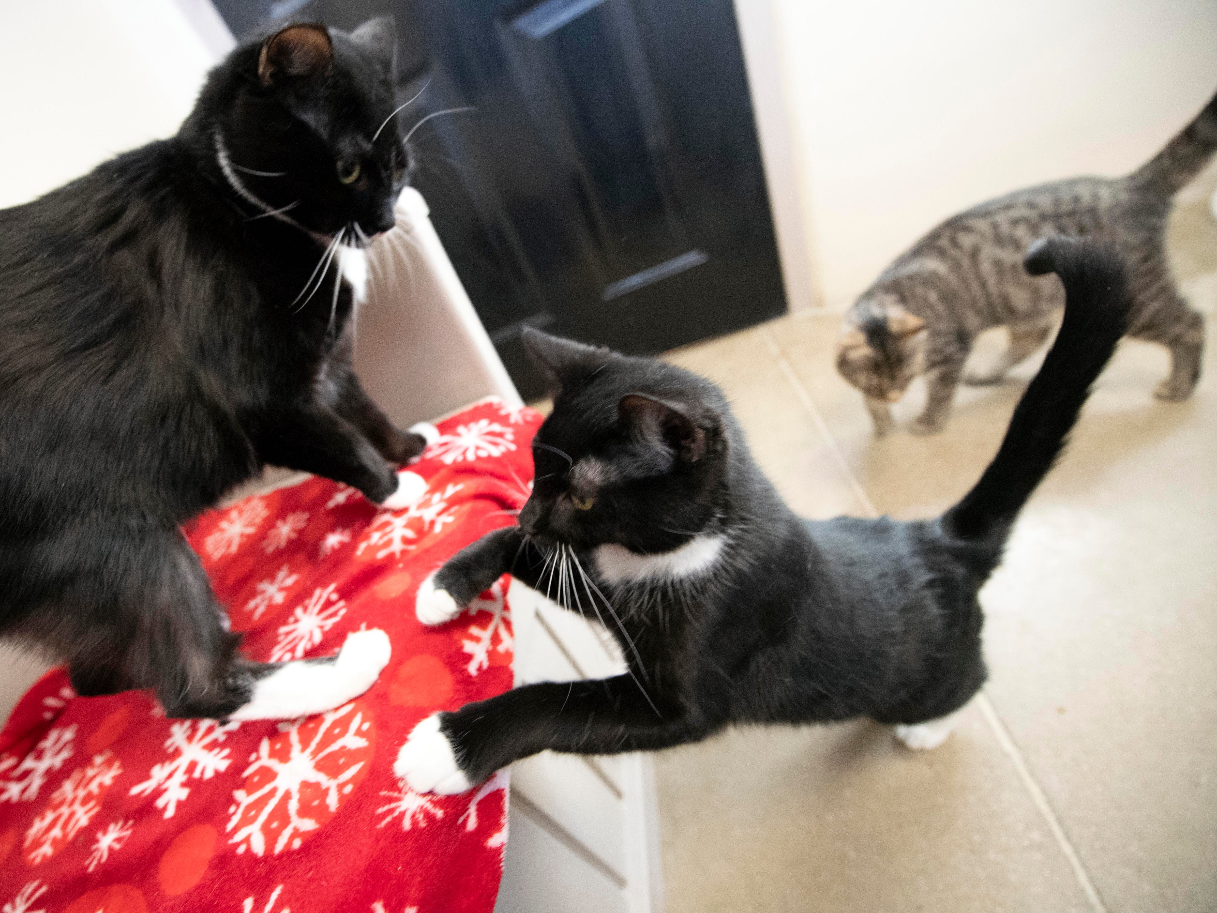 Cats play in one of the 'cat condos' at the York County SPCA.