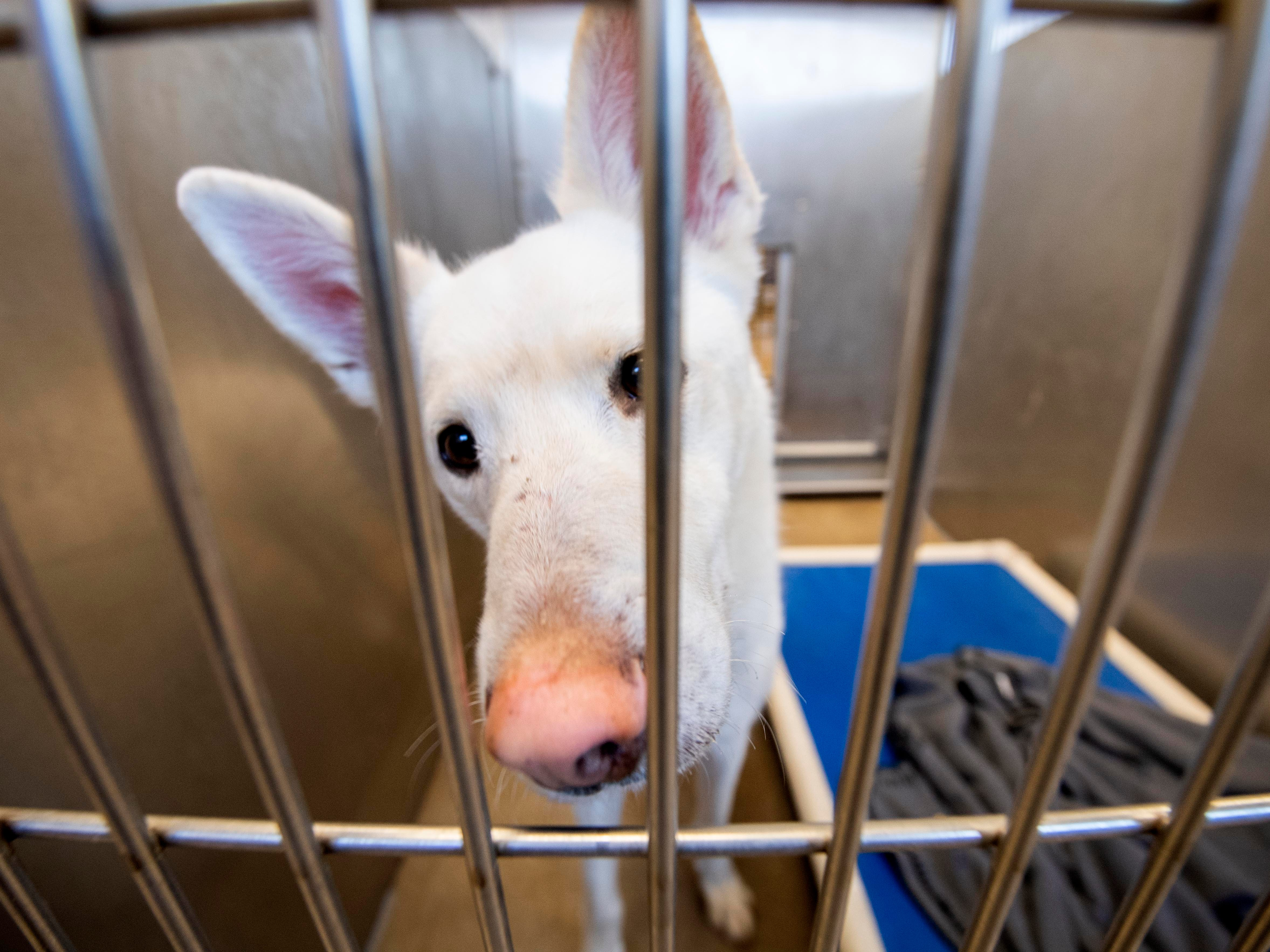 Fang, a 4-year old German Shepard mix, was brought into the SPCA after his owner could no longer take care of him.