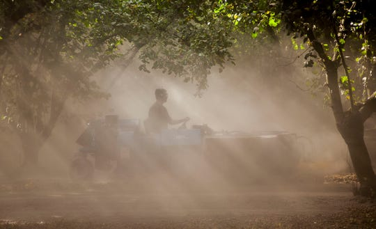Heavy equipment is used to 'sweep' hazelnuts into the center under the trees so they can be harvested from an orchard at Aman Brothers in Mt. Angel, Oregon.