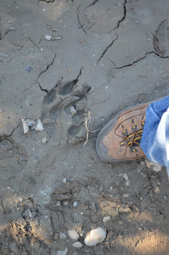 200 piles of bruin poo and a wolf print the width of my size 11 hiking boot were two of the highlights in the outdoors for Henry in 2018.
