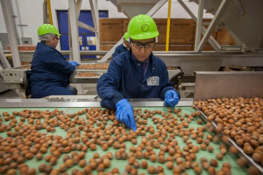 Workers sort through hazelnuts as they move across a conveyor belt on their way to be bagged at a new state-of-the-art processing plant in Donald, Oregon.