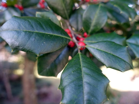 Holly berries at the Tallahassee Garden Club.