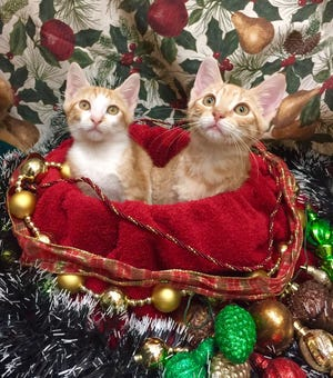 Caring Fields Felines kittens anticipate gifts from Santa.
