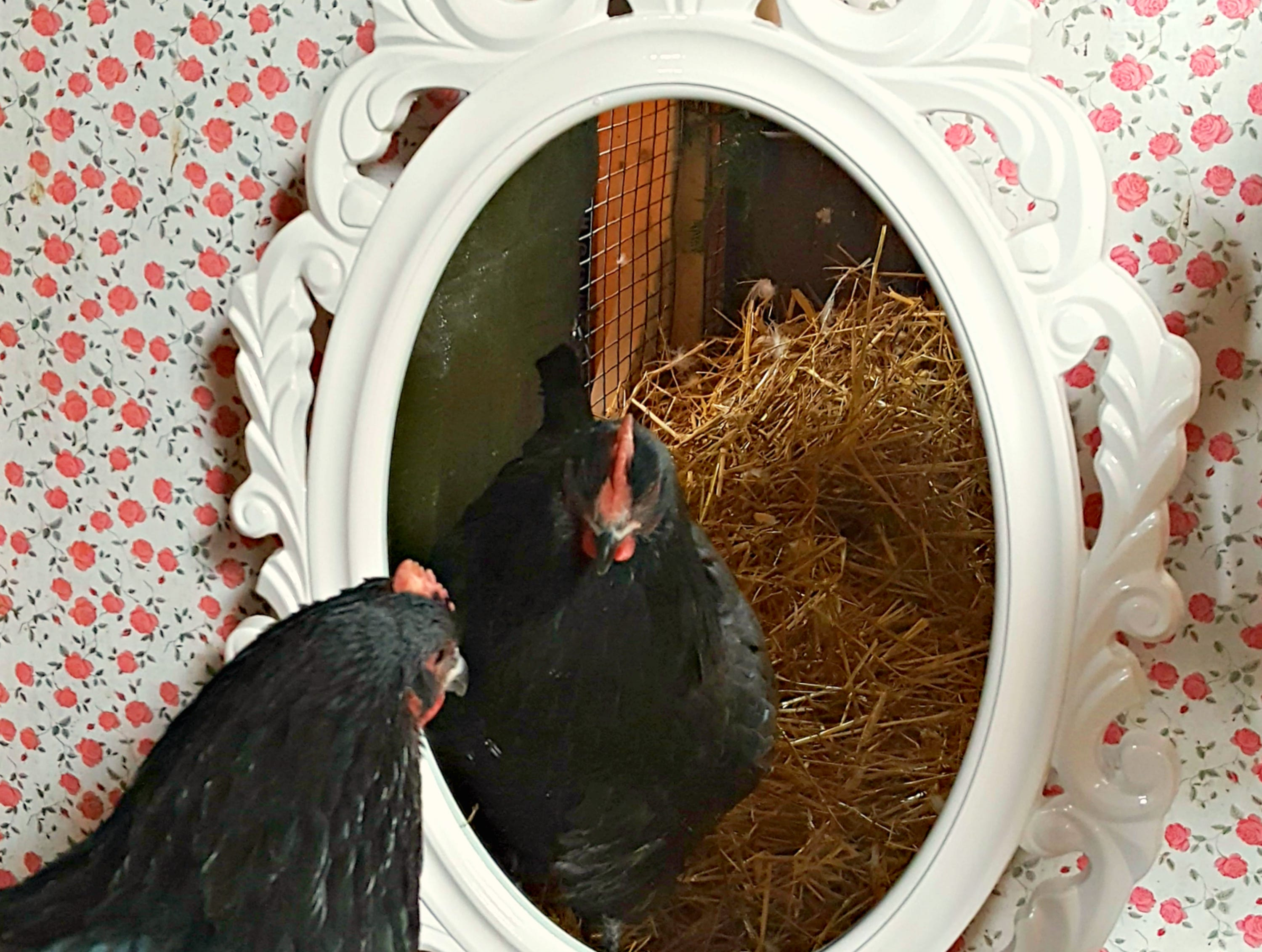 Fresh Eggs Daily's Lisa Steele says her chickens seem to like looking in the mirror she has placed in her chicken coop as part of the decor.