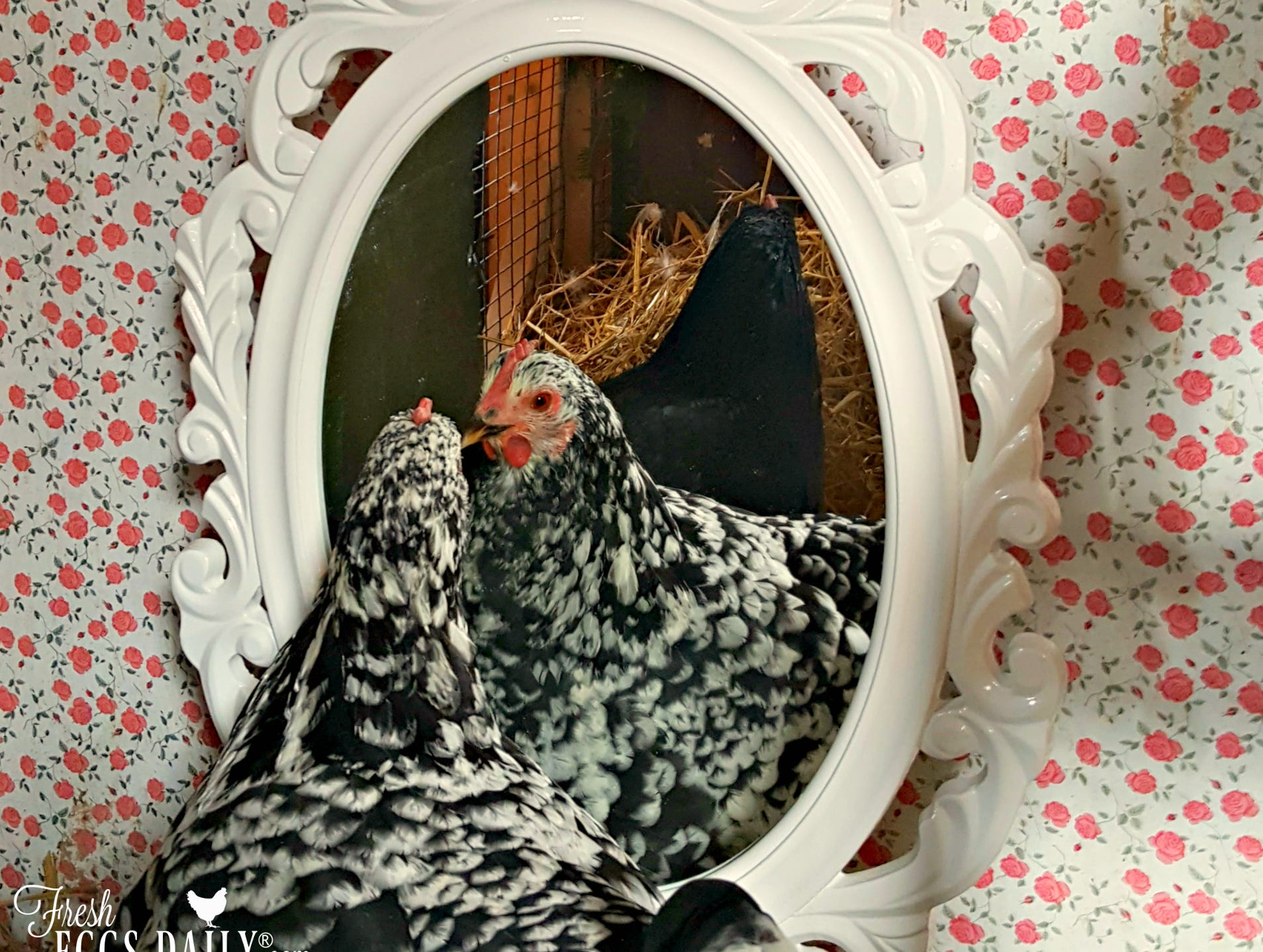 Fresh Eggs Daily's Lisa Steele has decorated the inside of her chicken coop with flowery wallpaper and a painted mirror.