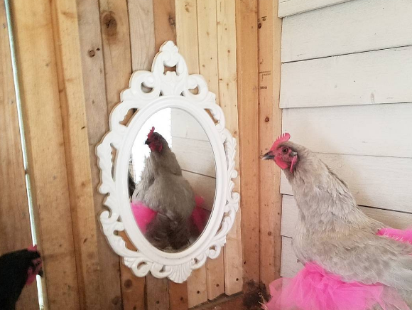 Dressed up in a designer tutu, one of Lisa Steele's chickens appears to admire itself in a mirror places inside Steele's chicken coop.