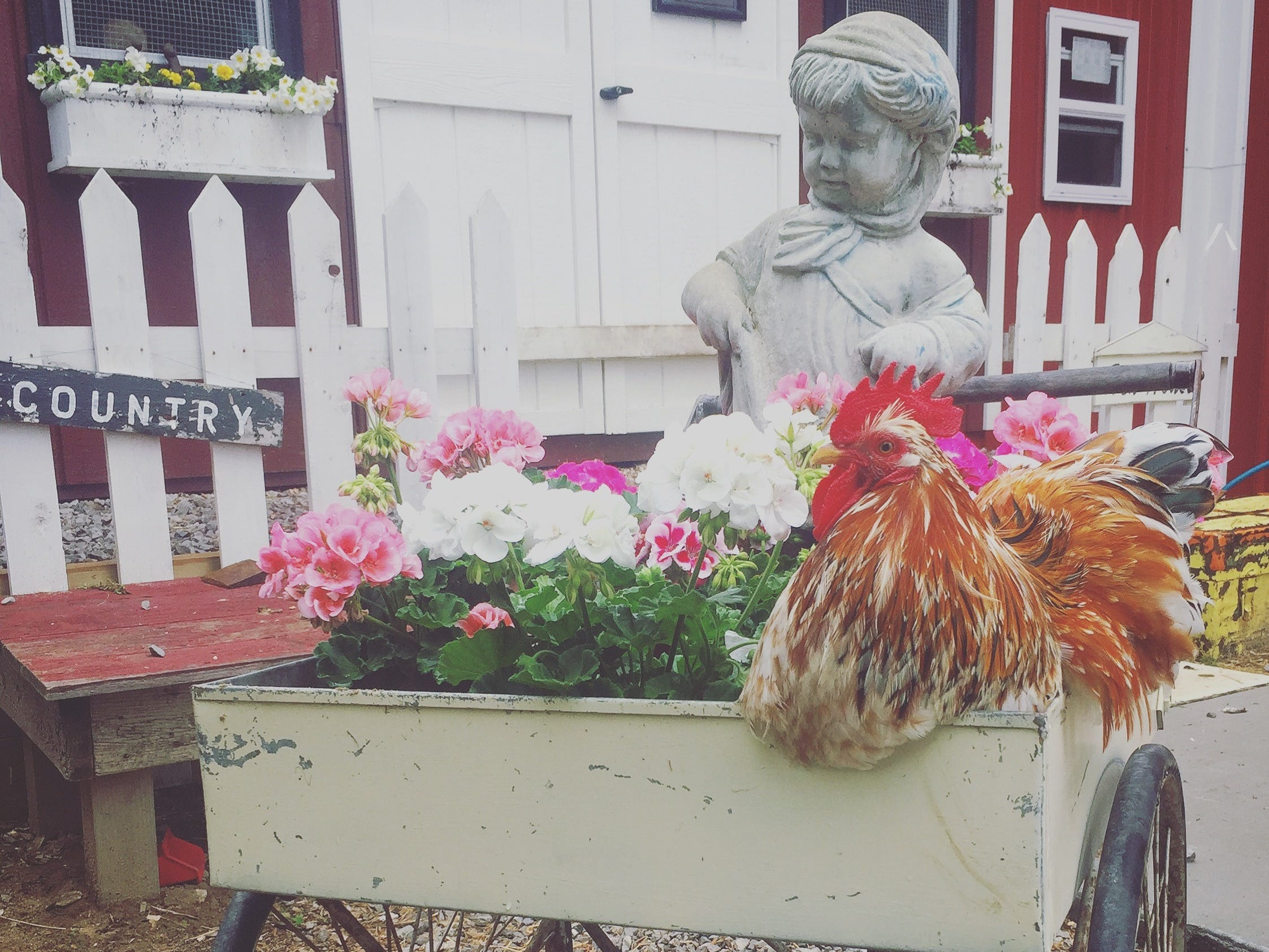Woody, one of Danielle Raad's chickens, sits on an antique cart in front of the family's coop.