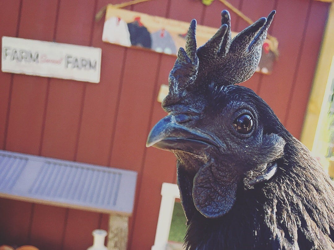Danielle Raad's chickens include Coraline, a rare Svart Hona breed. Among unusual features of Svart Honas is that they have black skin, organs, bones and muscle, she says. They're also known to be great foraging birds and have a calm demeanor.