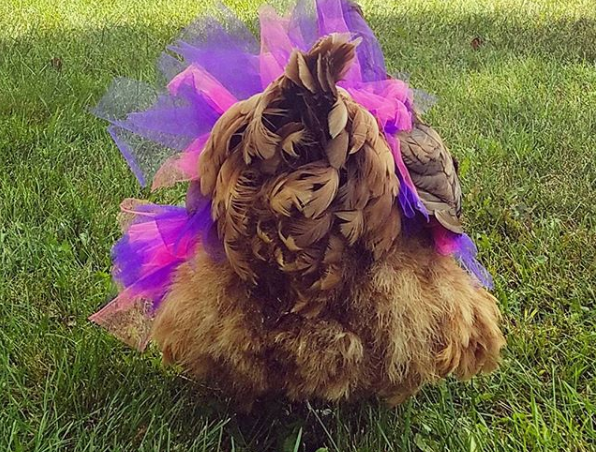 A chicken prances about Lisa Steele's Maine property in a designer tutu. A leading voice in the backyard chicken movement, Steel has five books in print and hundreds of thousands of followers on social media.