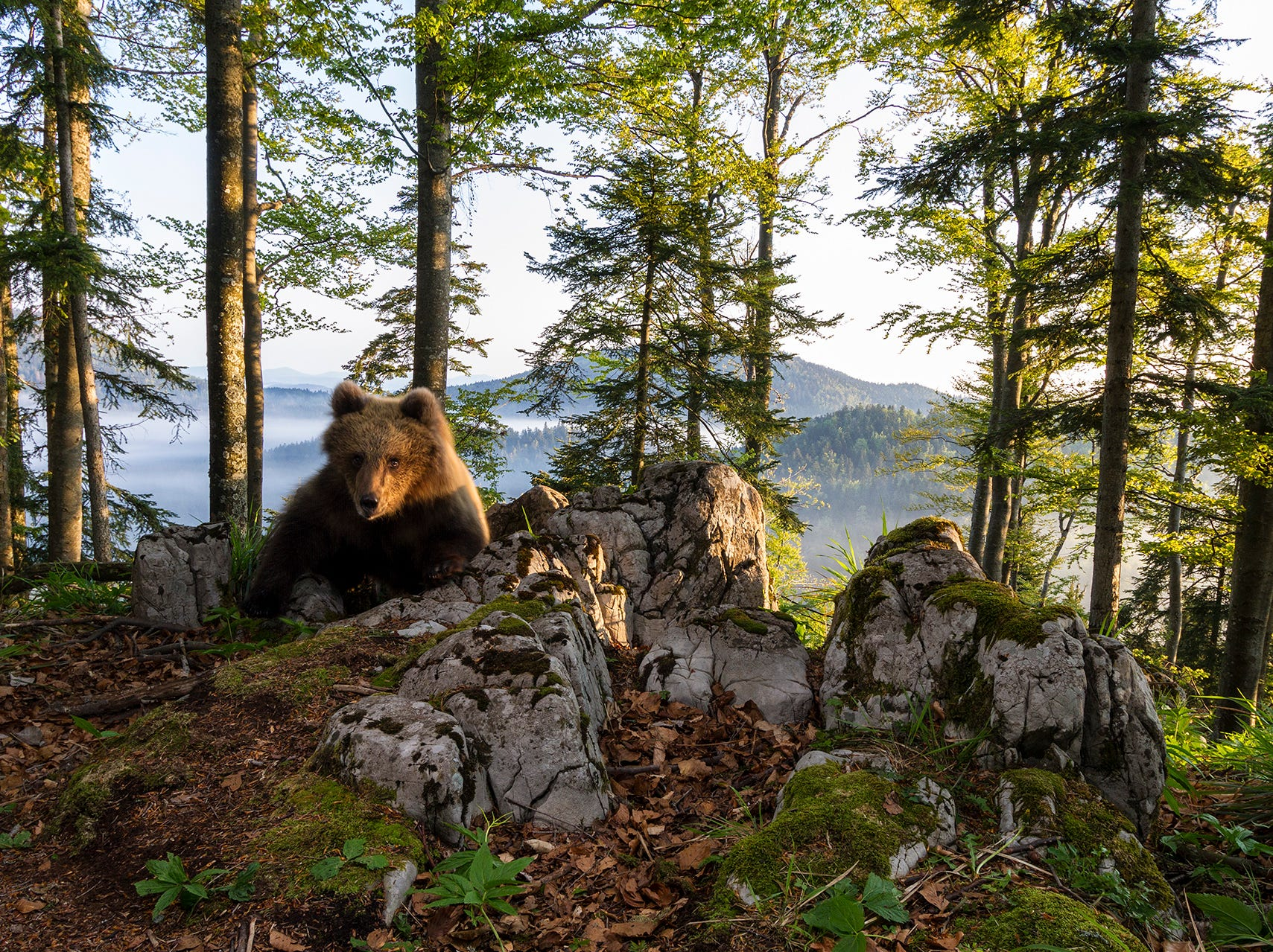 Wideangle DSLR phototrap image of a young European brown bear in perfect morning light in a central European forest.