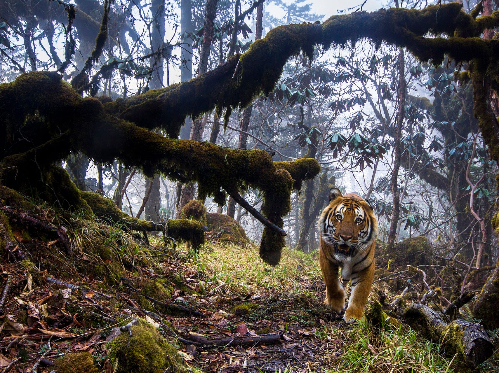 A bengal tiger shot in biological corridor 8 at 3546m of altitude, forest of Bhutan.