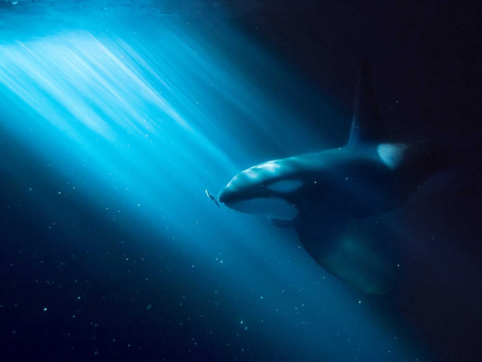 A killer whale feeding in the light beam from a fishing boat during the polar night outside Tromsø in Northern Norway