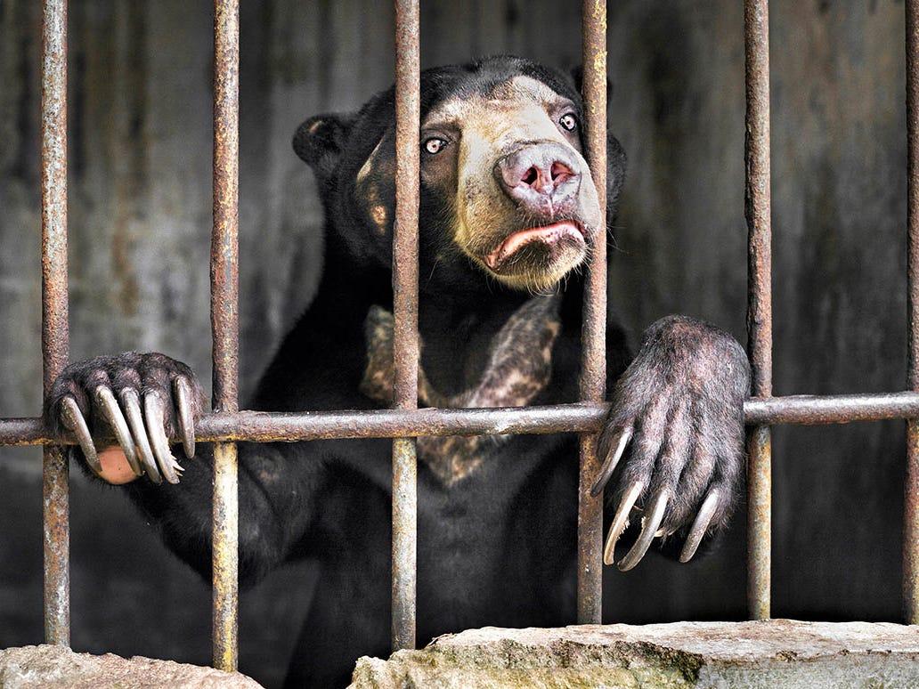 A sun bear behind bars at an Indonesian zoo.