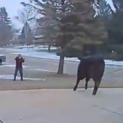 Out of the meat market, into the line of fire: Escaped steer shot by Campbellsport police