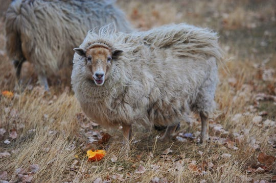 Jennifer Skinner of Sun River makes custom dreadlocks hair extensions with wool from Icelandic, East Friesian and an Icelandic-East Friesian cross of  sheep.