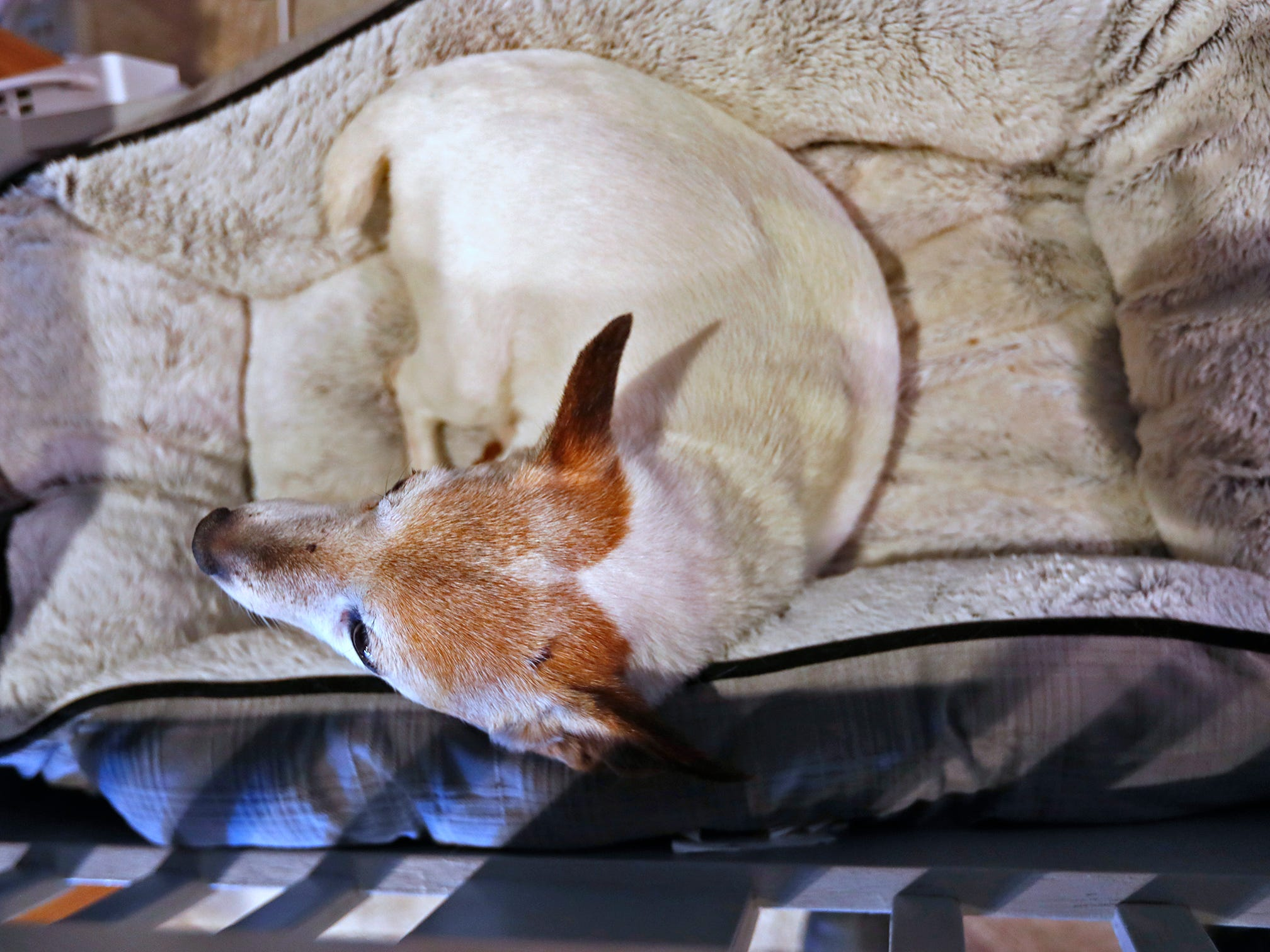 Sally, a 15-year-old Jack Russell sleeps at ReCraft, Tuesday, Dec. 11, 2018.  The dog is owned by the store's owner, Bethany Daugherty.  ReCraft was born out of Daugherty's love of crafting and her interest in environmental activism.  At the secondhand craft and hobby store, Daugherty also teaches workshops.  Sustainability and environmentalism are a focus of the store.