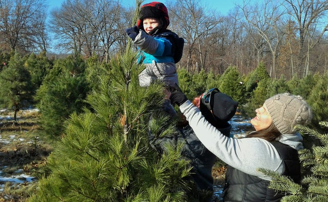 Noah Christensen, who will be two soon, delights in examining a tree at Handley's Holiday Hillside near Solon Saturday, held by his parents Krista Farnsworth and Tyler Christensen.