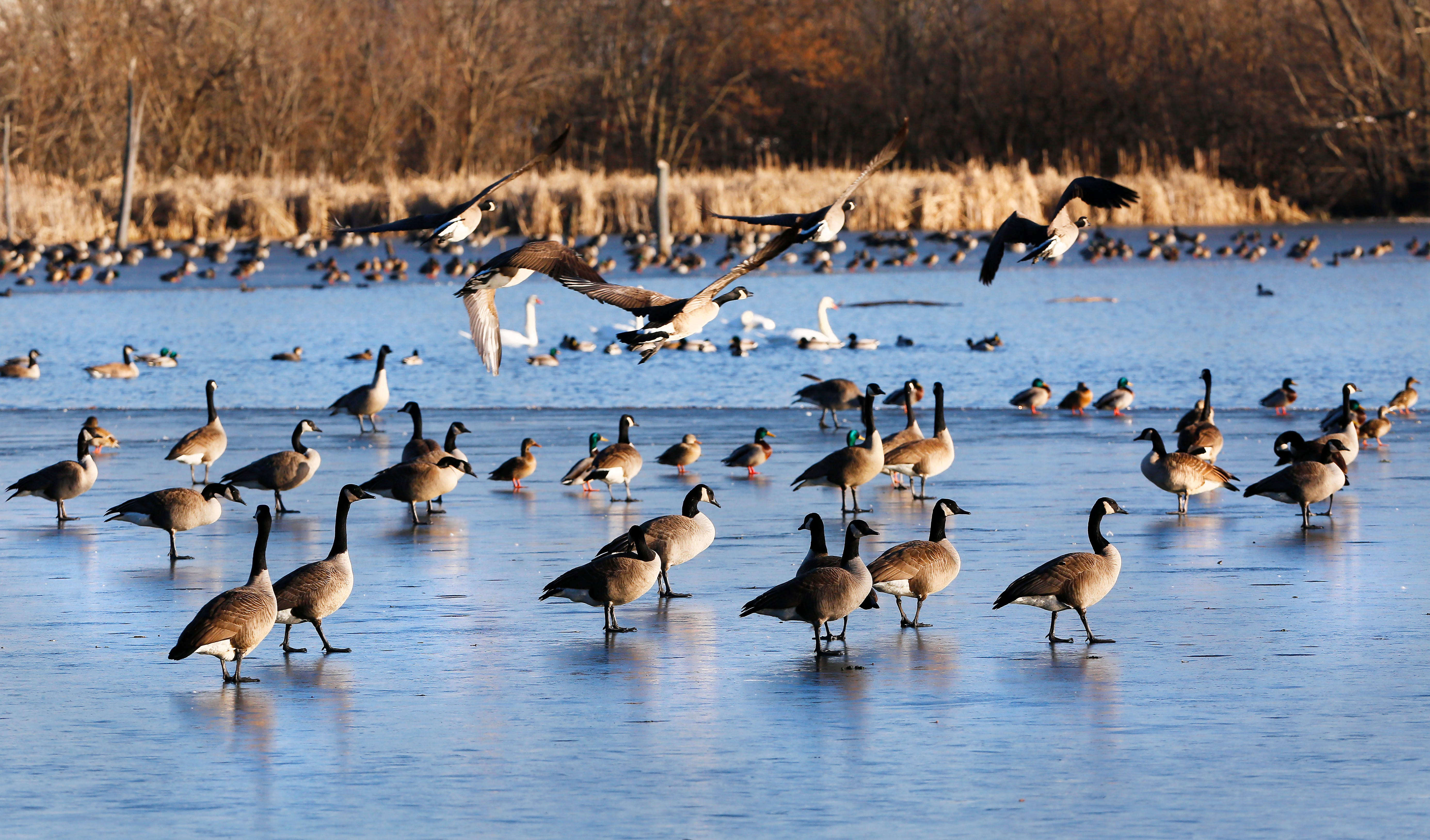 Canada geese, Mallard ducks, swans and other waterfowl gather.