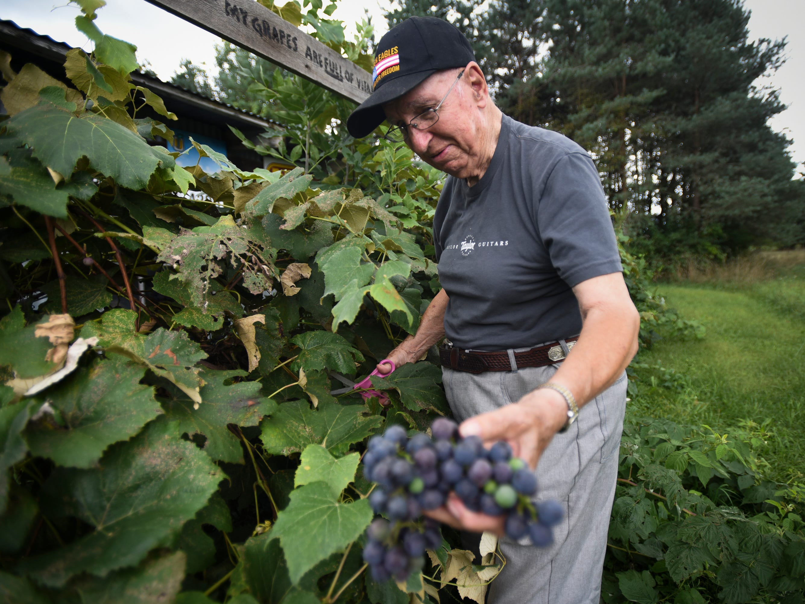 "Don West, 90, of Eaton Rapids, picks grapes in the orchard in his back yard Wednesday, Aug. 29, 2018.  ""How do I keep going you ask? I work in the yard every day, I feed the chickens, I collect eggs.  I've taken over Jackie's task of sending cards and letters to friends and family, that's what she used to do,"" he said about dealing with the absence of his wife Jackie, who has lived in a retirement home since her June 2017 stroke."