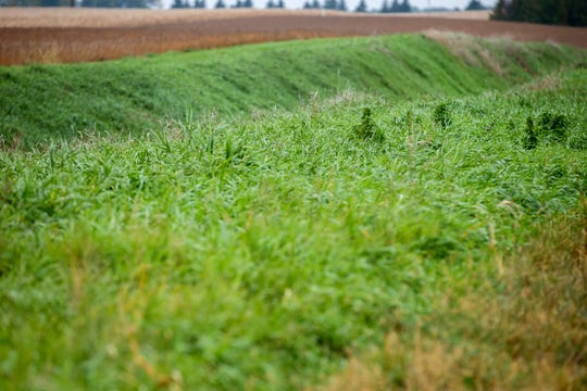 """Vegetation grows Oct. 5, 2018  on a buffer strip on both sides of a waterway on farm field on Joel Rauenhorst's land in Easton, Minn. """"The goal is to stop wind and water erosion, but there's lots of ways you can do that,"""" Rauenhorst said."""