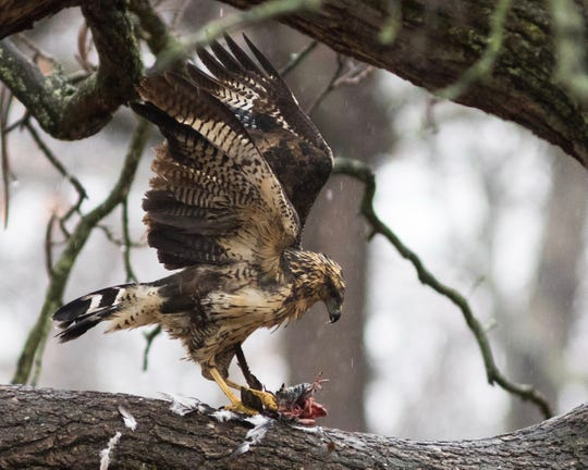 A great black hawk feeding on a small bird in Maine.