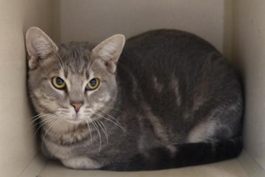 With gorgeous markings, Ash is an 8- month-old American Shorthair mix.