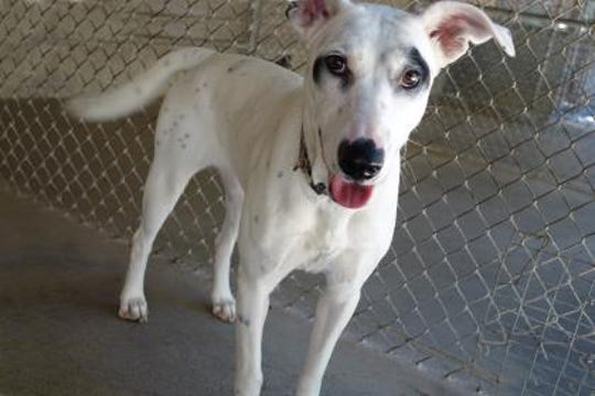 Sophie is about 11 months old and she weighs 45  lbs., full of loving spirit.