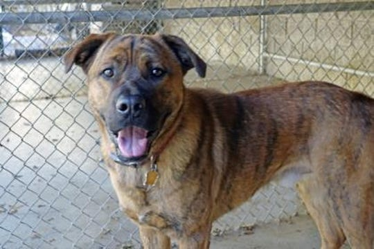 Marshall is a 1 1/2 year old Rottweiler/Shepherd mix.