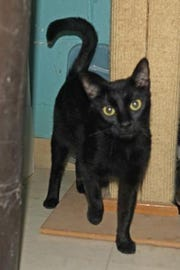 L.C is a very sweet, lovable 1-year-old female, a stray brought to the shelter just in time to have her kittens.