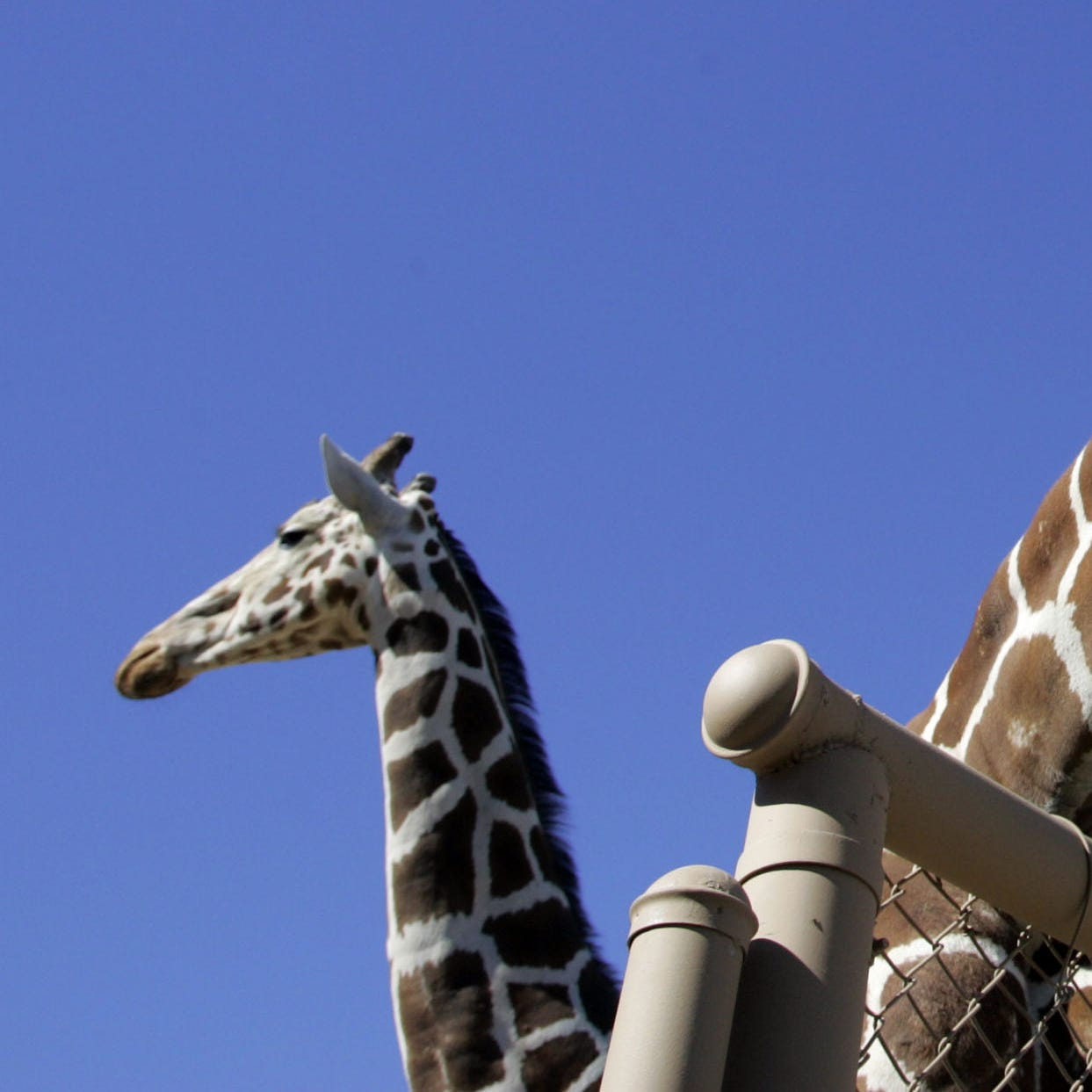 Living Desert giraffe, who was 17 and fathered nine calves, euthanized after health woes